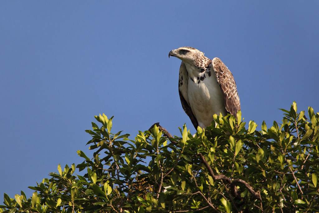 Image: Juvenile Martial Eagle