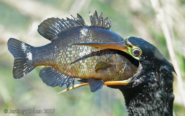 Anhinga (Anhinga anhinga) eating warmouth perch (Lepomis gulosus))