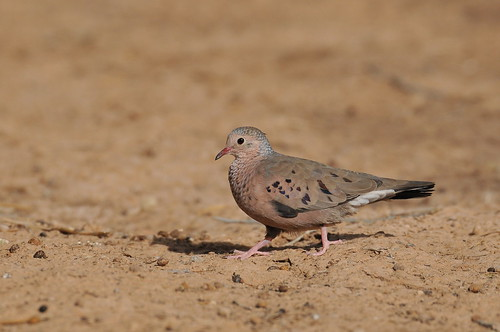 Common Ground dove | by ricklebaudour