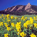 Golden Banner blooms in Chautauqua Meadow below the Flatirons.