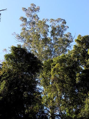 eucalyptus eucalyptusinrainforest sydneybluegum eucalyptussaligna arfp nswrfp qrfp bulgastateforest talltree warmtemperatearf warmtemperaterainforest marginalarfp poem outdoor tree plant oldgrowthforest tirrellcreek tirrillcreekflorareserve gianttree recordtree australiasbiggesttrees