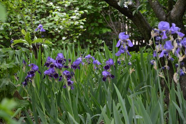 Iris 'Monsignor' - Vilmorin 1907 8923436456_945b40ebfb_z
