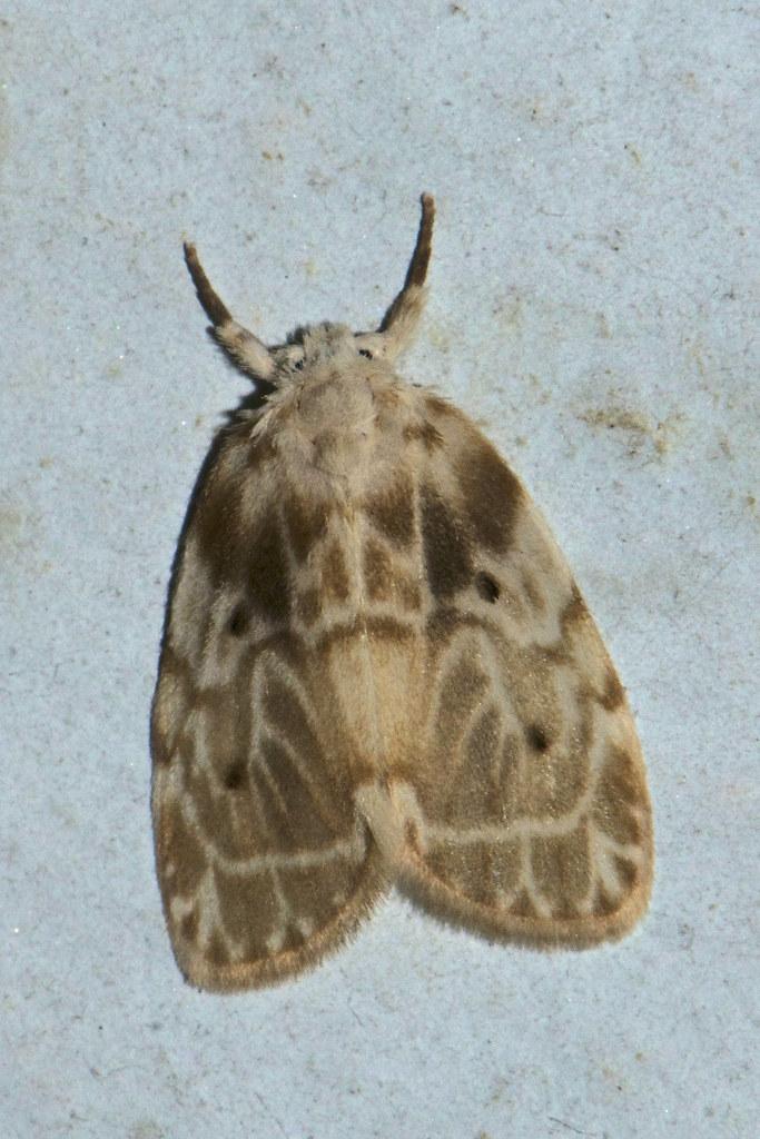 Makunda Insects-2831 - Schistophleps bipuncta | Location ...