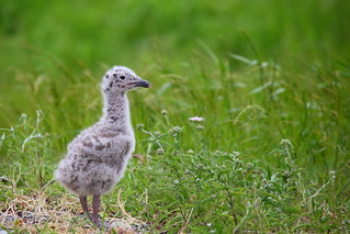 Great black-backed gull chick | by MikaErkki