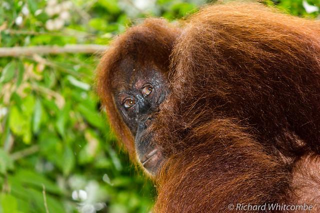 Sad looking female Orangutang