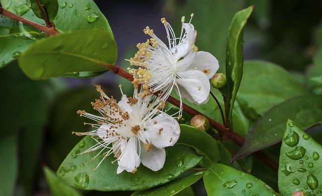 Flowering Myrtle Bush  ~  Explore 22/08/2013