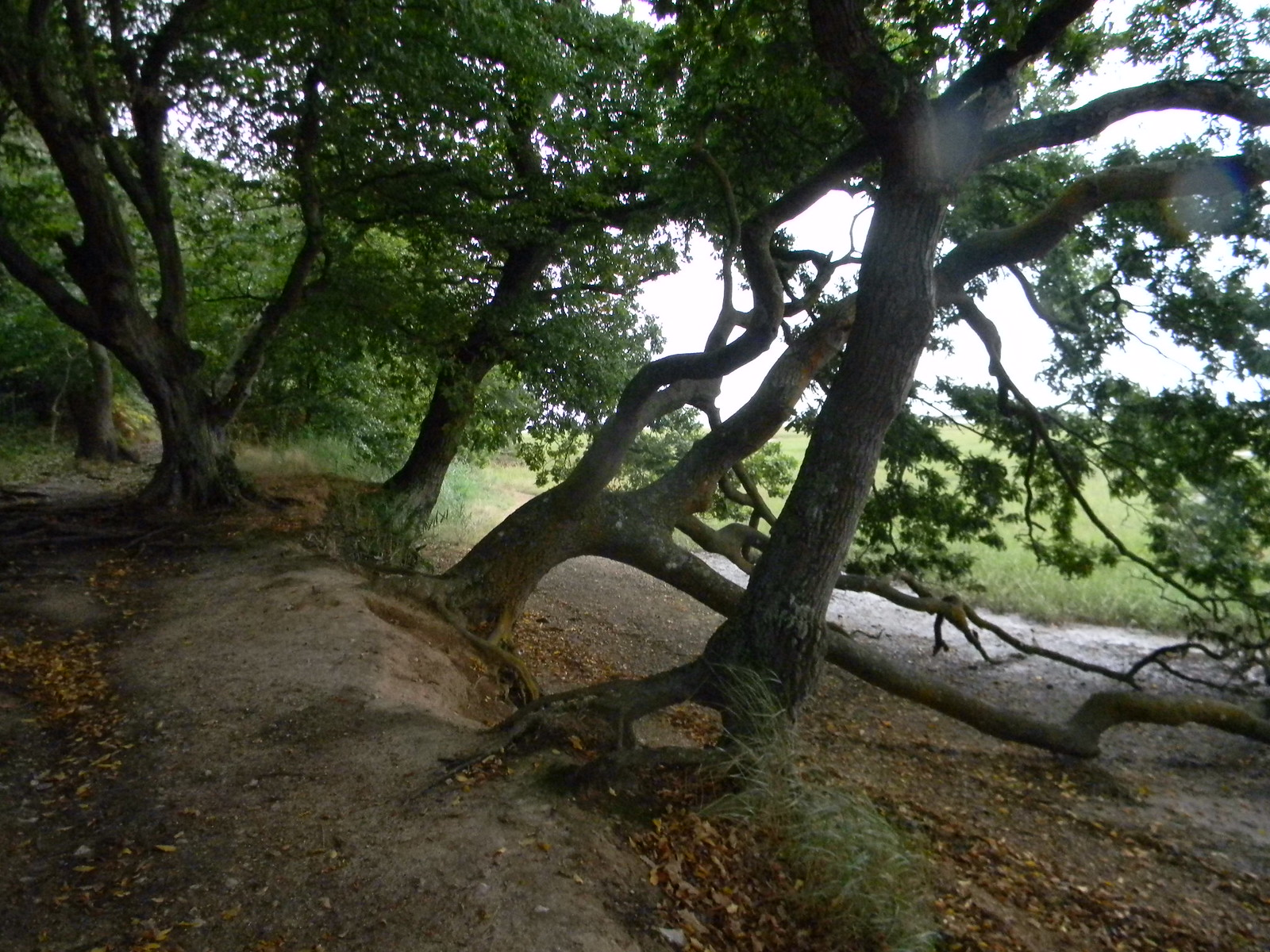 Gnarled trees Chichester to West Wittering