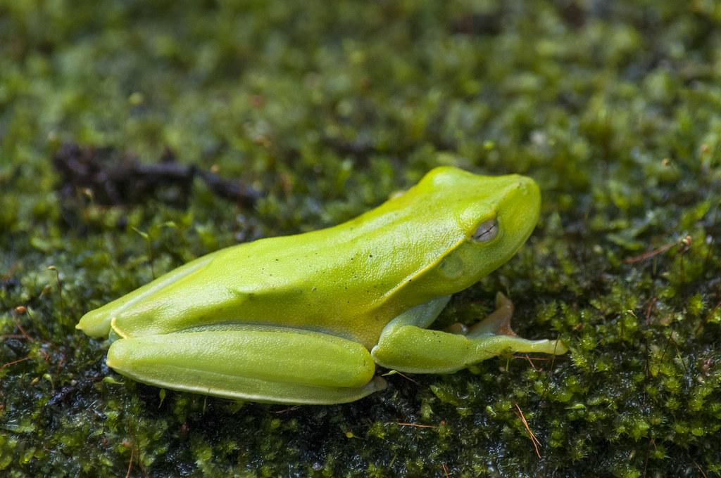 Phyllomedusa distincta (perereca)