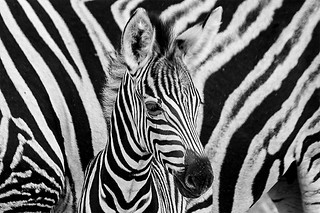 Young zebra  / Explore