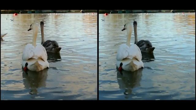 Swans at Godmanchester - 3d movie clip - crossview