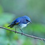 藍眉林鴝  Himalayan Bluetail