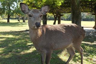 The Deer of Nara   by MatthewW