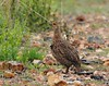 Grey-winged Francolin (Francolinus africanus) by whohenstein