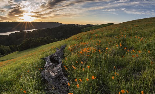 Poppies at sunset - San Pablo CA   by Andrew V Kearns