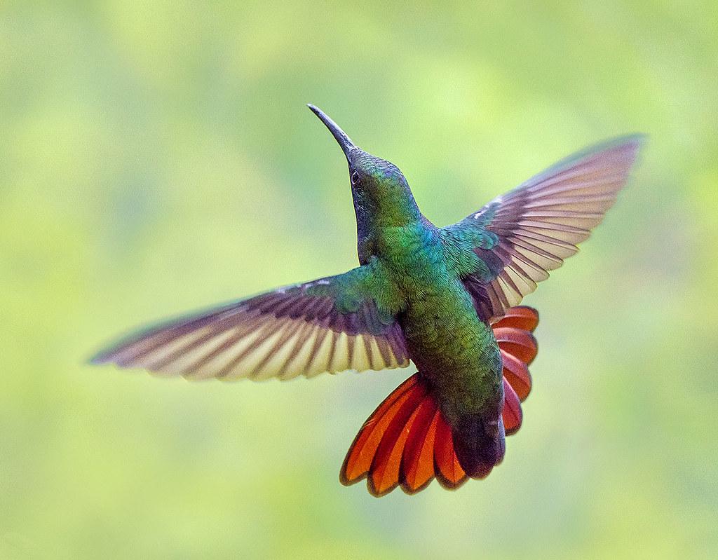23cde062e6 by pedro lastra Black Throated Mango Hummingbird, Trinidad and Tobago. | by  pedro lastra