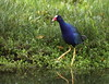 Purple gallinule / Calamoncillo americano /Frango-d'agua-azul (Porphyrio martinicus) by Héctor Bottai