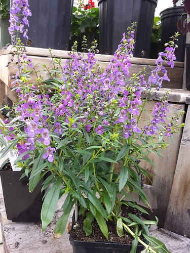Angelonia Serenita Purple | by Les Serres Fortier