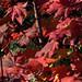 Flickr photo 'H20091119-1793--Acer circinatum --RPBG' by: John Rusk.