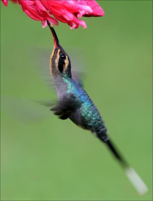 Green Hermit Hummingbird (f)
