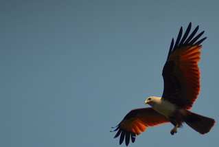Brahminy Kite | by Sovereign Nations