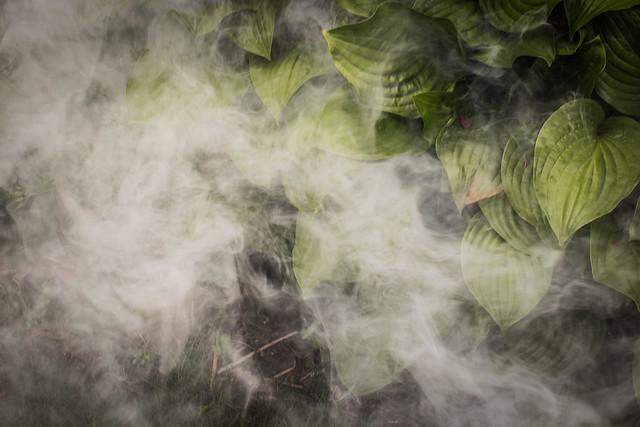 Smoke Bomb in my Hosta