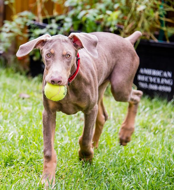 Rosce Playing Fetch