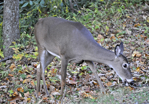 White-tailed deer | by State Farm
