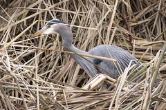 Stanley Park Heron (_K3_1766)