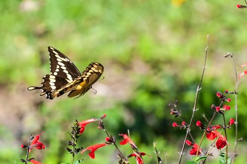 animals butterfly flickr ngc bugsbutterflies feltsaudubonpreserve