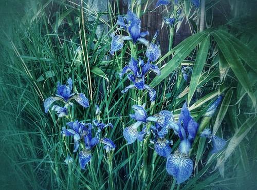 Irises (20/06/2015)