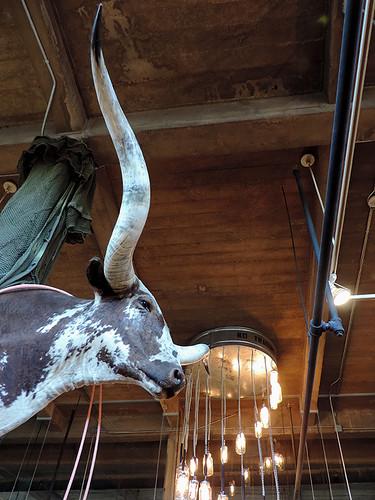 fortworth fortworthtx fortworthstockyards texas usa longhorns cows indoor dnysmphotography dnysmsmugmugcom