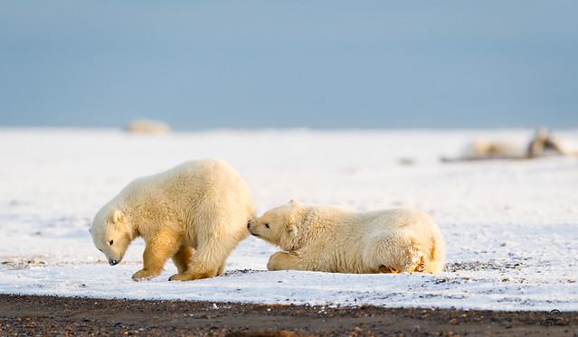 The Polar Bear Maker of Mischief