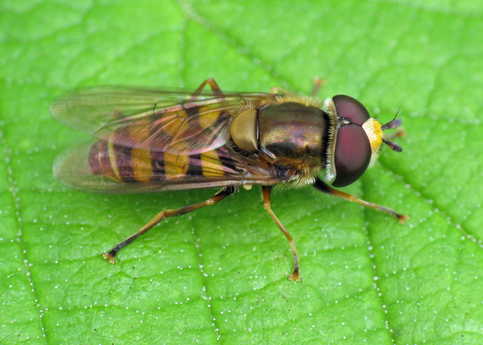 Hoverfly - Eupeodes corollae