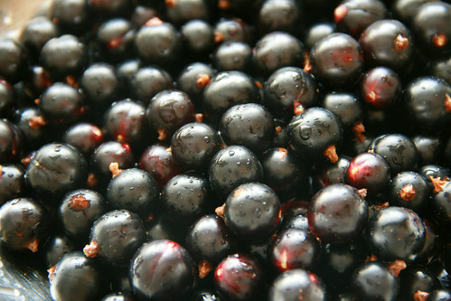 Freshly Picked Blackcurrants | by The Garden Smallholder