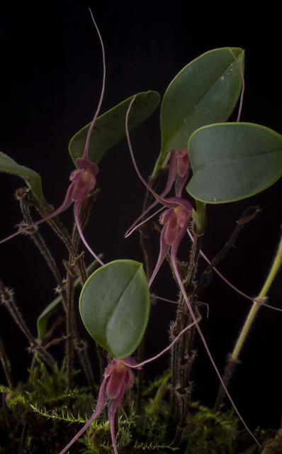 Trichosalpinx pergrata