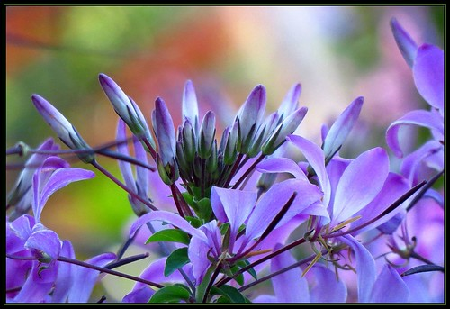 IMG_7759 Cleome Unbound 10-8-13