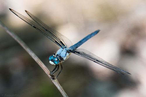 An image of a blue dragonfly, thought to bring good luck in England.