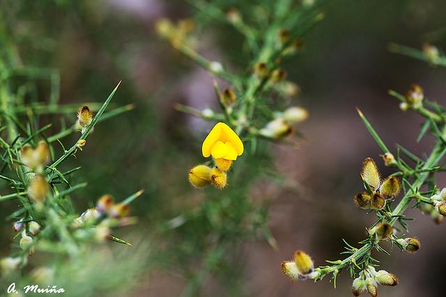 Flower of Ulex europaeus.