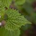 Flickr photo 'Alliaria petiolata MJB409-D101' by: Sarah Gregg Petriccione.