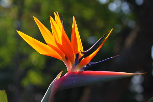 Strelitzia sp. | by Dindingwe