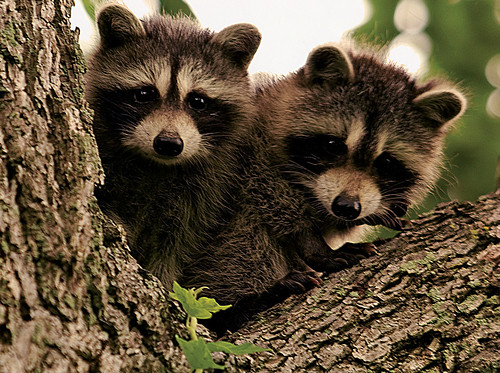Photo of baby raccoons in a tree