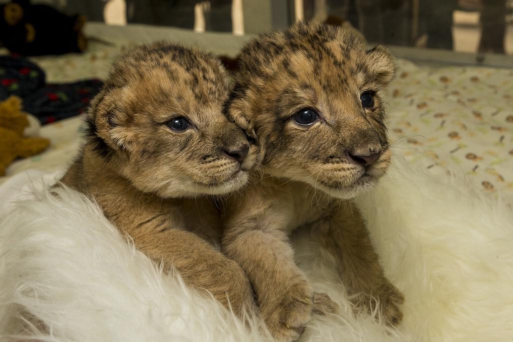 Precious Pair: Lion Siblings Thrive at San Diego Zoo Safar