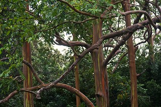 Rainbow Eucalyptus Trees | by & mina