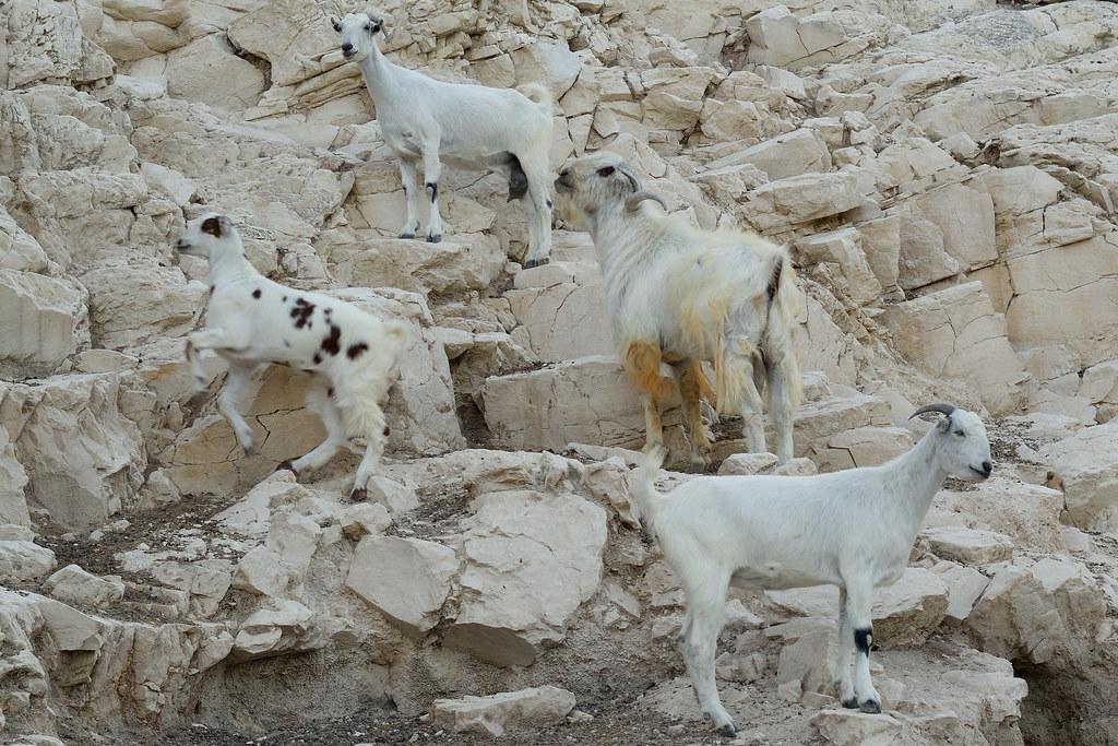 Damascus Goats, Cyprus | Kyriakos Pitsillos | Flickr
