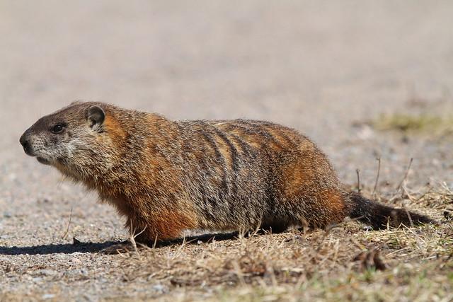 2 marmotte (3)