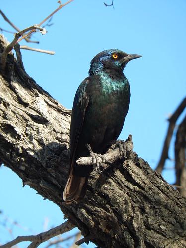 Etosha NP - cape glossy starling