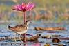 Pheasant-tailed Jacana by Biplab7