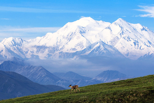 Caribou and Denali | by DenaliNPS