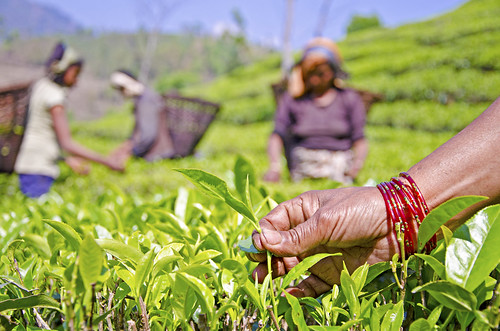 Pavitra Aryal, a member of the EcoTea Cooperative, plucks the first flush of organic tea in her farm in Illam in eastern Nepal. To help Nepal meet the growing demand for organic tea in the U.S. and European markets, USAID's project supported farmers to co | by USAID Nepal