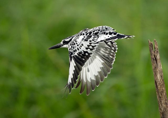 Pied Kingfisher (Explored), Ceryle rudis, Msuna Fishing Resort, Zambezi River, Zimbabwe 1